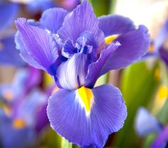 Siberian Iris - full sun to partial shade. blooms late spring to early summer