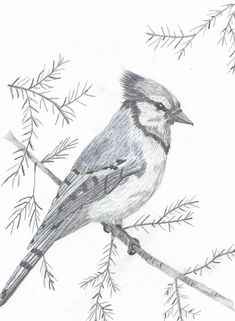 bird sketch Bird Drawing - Blue Jay by DebiJeen Pencils Bird Pencil Drawing, Pencil Shading, Pencil Art Drawings, Bird Drawings, Art Drawings Sketches, Animal Drawings, Drawing Birds, Sketches Of Birds, Cardinal Drawing