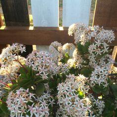 Vetplant in de bloei! #wit