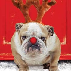 The major breeds of bulldogs are English bulldog, American bulldog, and French bulldog. The bulldog has a broad shoulder which matches with the head. Christmas Animals, Christmas Dog, Christmas Humor, Merry Christmas, Funny Animal Pictures, Cute Pictures, Funny Animals, Boxer Dogs, Bulldog Puppies