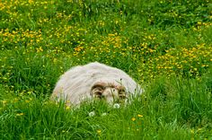 Sheep in the grass Canvas Print