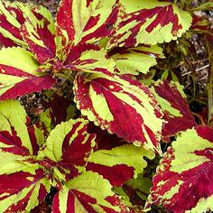 Houseplants for Better Sleep Coleus Careless Love Container Flowers, Container Plants, Container Gardening, Big Flowers, Beautiful Flowers, Shade Garden, Garden Plants, Outdoor Plants, Outdoor Gardens