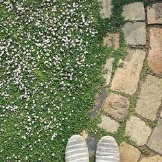 女性で、4LDKのDIY/レンガ/ヒメイワダレソウ/リッピア/クラピア/小道…などについてのインテリア実例を紹介。「踏んでるところのほうが咲いてる。」(この写真は 2016-06-07 19:59:49 に共有されました)