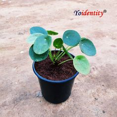 The Pilea Peperomioides is known by many names, including the Chinese Money Plant, the UFO plant, or the missionary plant. Noted for its unique pad-like foliage in an eye-catching bright shade of green, this plant has been popular in Scandanavia for years. Cuttings of the plant were taken from its native China by a Norwegian missionary who helped propagate it in Europe and grow its popularity there. It's only become widely available in the USA in the past few years, but has quickly become a… Buy Indoor Plants, Outdoor Plants, Online Plant Nursery, Natural Air Purifier, Chinese Money Plant, Buy Plants Online, Hardy Plants, Cuttings, Beautiful Textures
