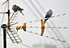 Wired Doves.