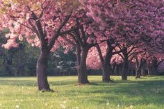 This is the tree we are thinking to line our front property line with, and possibly the drive....