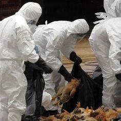 CAMEROUN :: Grippe aviaire : la vente de poulets continue malgr? une mesure d'interdiction  :: CAMEROON