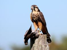 falcão-de-coleira -   Falco femoralis (Temminck, 1822) --{ Birds }--