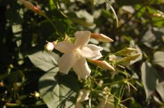 Jasminum officinale Flower (24/06/2012, London)