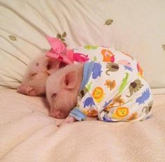 "omg baby pigs in PJs!!! and yeah they aren't just ""stupid humans putting clothes on their pets."" most baby mammals aren't able to heat themselves for at least a few weeks, they need an adult to warm them up; littermates and blankets and clothes can all help them."