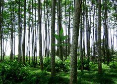 Pohon_Kayu_Sengon_Solomon