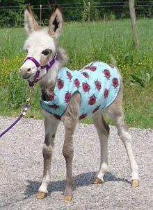 Mini donkey foal ---> My Charlotte needs to wear a shirt!!!