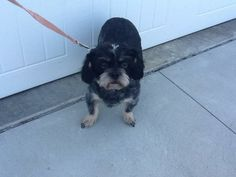 Abby...Spayed female, born 2009.  Salt & Pepper look.  Crate trained.  Microchipped.  Shy with new people, especially men. No cats please. Plays well with dogs.  Under 20 lbs. Unknown how she might be with children.  Application required. Adoption fee of...