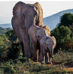 COM 👉For info about promoting your elephant art or crafts, send me… Elephant Images, Elephant Pictures, Cute Animal Pictures, Elephant Family, Elephant Love, Elephant Art, Elephant Gifts, Mama Elephant, Elephants Photos