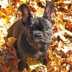 """via the Daily Puppy  Puppy Breed: French Bulldog  Hi, I'm George. I enjoy taking long naps in the sun, chewing on sticks, and rolling in the dirt. I love my family and everybody that I meet. When people meet me they often say """"look at those ears!"""" and I don't understand why. They aren't that big, are they?"""