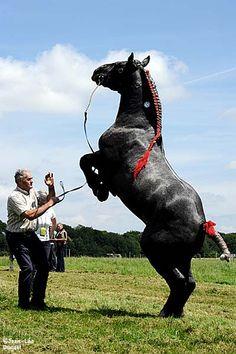 Huge Percheron rearing All The Pretty Horses, Beautiful Horses, Animals Beautiful, Cute Animals, Work Horses, Big Horses, Percheron Horses, Horse Braiding, American Quarter Horse