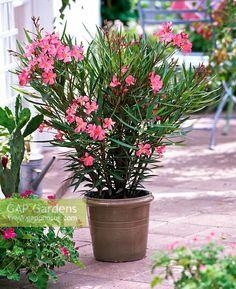 Ixora Coccinea.  Ixora, Santa Rita, Ccoralillo.   Planta ramificada siempre verde.   Altura máx de 3m.   Planta de sombra o media sombra.