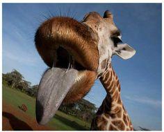 Angelina Jolie's Giraffe