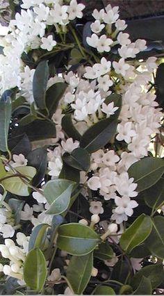 Jasmine Long Flowering Fragrant