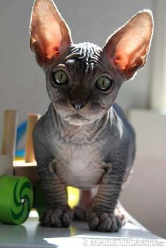 I probably pinned over twenty picture's of the sphynx, but I can't help it, I am in love <3