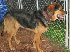 #SDAKOTA ~ Butch is a Neutered 6yo Shepherd / St Bernard mix -  My owner is elderly & can no longer provide the care I need. I'm an outside dog tho would love a warm home w/ a warm heart. I'm good on a leash, love to go for walks & am a V friendly big guy. I need more atten then I'm getting in my current home & am in need of a loving #adopter / #rescue at TWIN CITY ANIMAL SHELTER 722 E Main St  #Lead SD 57754 gbunch@rushmore.com Ph 605-584-2480