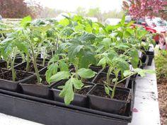 growing tomato seedings with hydroponics