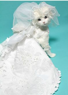 Poor Kitty But She S Beautiful In Her Wedding Gown Cats And Kittens