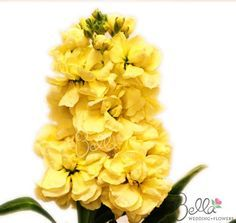Yellow stock