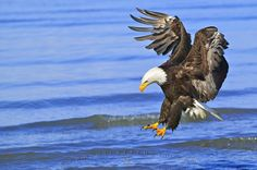 Photo of a fishing Bald Eagle (bird of prey) in flight, Homer, Alaska.