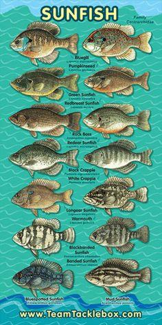 Sunfish Family Banner