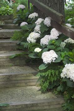 Blushing Bride® Hydrangea (Hydrangea macrophylla 'Blushing Bride') at Jim Melka Landscaping & Garden Center Hydrangea Macrophylla, Hortensia Hydrangea, White Hydrangeas, White Hydrangea Garden, White Flowers, Hydrangea Landscaping, Garden Landscaping, Landscaping Ideas, Stairs