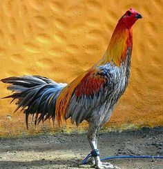 Fancy Chickens, Chickens And Roosters, Pet Chickens, Raising Chickens, Peru Game, Chicken Breeds, Chicken Coops, Rooster Breeds, Gallo Pinto