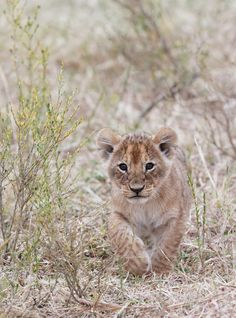 Adorable lion cub taking a stroll❣️ Animals Images, Animal Pictures, Cute Baby Animals, Animals And Pets, Wild Animals, Beautiful Cats, Animals Beautiful, Carnivore, Majestic Animals