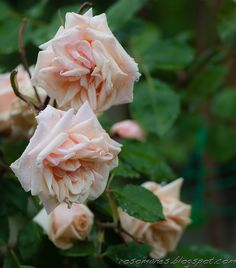 A Rose is a Rose...: Gardening with Roses
