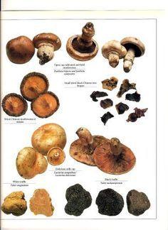 Edible Mushroom Identification | Wild Edible Mushrooms - wild ...