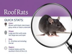 Roof Rat Pest ID Card_Front.jpg