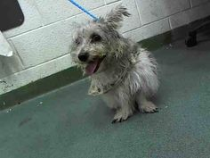 PUPI (A1640194) I am a male white and gray Terrier.  The shelter staff think I am about 7 years old.  I was found as a stray and I may be available for adoption on 09/06/2014. — hier: Miami Dade County Animal Services. https://www.facebook.com/urgentdogsofmiami/photos/pb.191859757515102.-2207520000.1409515479./832055423495529/?type=3&theater