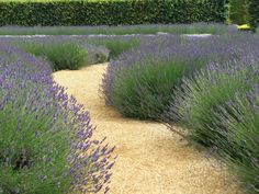 Lavender and gravel path - what a perfect combination! Informal yet classic. Garden Paths, Lawn And Garden, Garden Landscaping, Landscaping Ideas, Lavender Garden, Lavender Fields, Norfolk Lavender, Gravel Path, Gravel Driveway