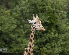 Giraffe by colinlangford1. Please Like http://fb.me/go4photos and Follow @go4fotos Thank You. :-)