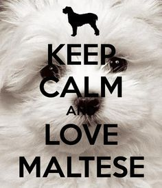 KEEP CALM AND LOVE MALTESE. Another original poster design created with the Keep Calm-o-matic. Buy this design or create your own original Keep Calm design now. Maltese Dogs, Teacup Maltese, Dogs And Puppies, Maltipoo Puppies, Toy Dogs, Fluffy Puppies, Cockapoo, Pekingese, Pomeranian