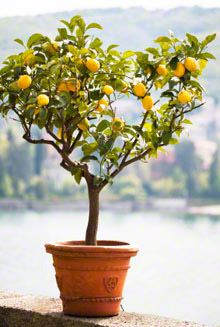 My foodie friend won this adorable meyer lemon tree and I'm now jealous -- via @Sommer | A Spicy Perspective