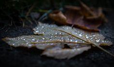 autumn leaves - Herbstfotografie: Laub mit Regentropfen