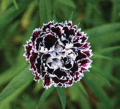 The small 6 to 8 inch plants are covered with very dark maroon, almost black blooms with a touch of frilly white lace for the entire summer. Flowers are about an inch across and the foliage is an attr