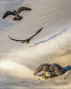 http://fineartamerica.com/featured/falcons-attack-snowy-owl-bob-orsillo.html