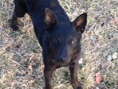 Meet Paige a Petfinder adoptable Schipperke Dog | Dewitt, MI | Paige is a super sweet and fun loving Schipperke mix that is 10-12 months old and weighs 10 pounds....