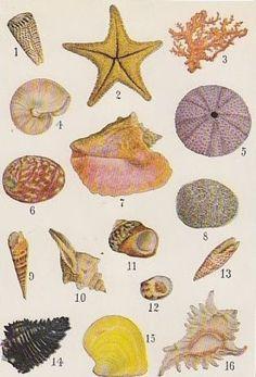 1920's Vintage Seashell Print