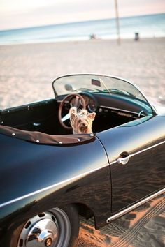 Yorkie peaking out of a vintage black car parked on the beach http://www.itgirlweddings.com/blog/stylish-engagement-shoot