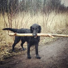 Little stick, big dog. Or was that the other way around? Leave it to the Flat-Coated Retriever to retrieve a stick twice his size...