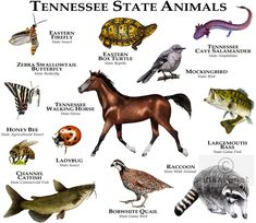 images of animals from tennessee | State Animals of Tennessee Line Art and Full Color Illustrations