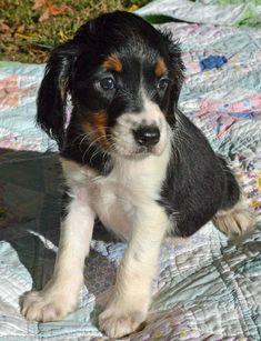 35 Best springer puppies images in 2018   Springer puppies